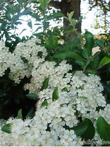 Wann Schneidet Man Apfelbäume : mein waldgarten wann schneidet man eine feuerdornhecke ~ Lizthompson.info Haus und Dekorationen