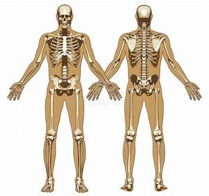 Human Skeleton On Flat Body Background Stock Vector