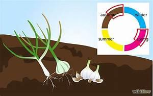 Cultiver De L Ail : cultiver de l ail pinterest jardinage truc et cuisiner ~ Melissatoandfro.com Idées de Décoration