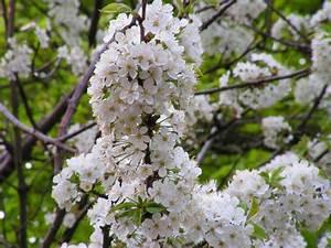 Baum Mit Blüten : kirschbaum mit bl ten kirschbaum bl te fotografie von rowo bei kunstnet ~ Frokenaadalensverden.com Haus und Dekorationen