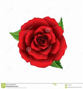 Red Rose Flower Top View Isolated On White Vector Stock
