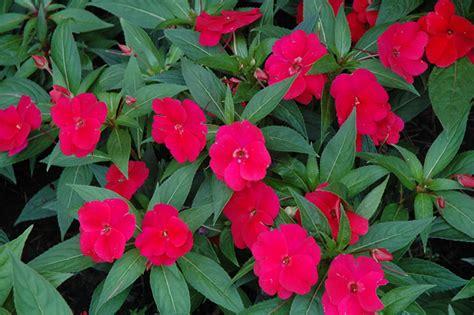 new guinea impatiens divine cherry red new guinea impatiens impatiens hawkeri divine cherry red in wilmette