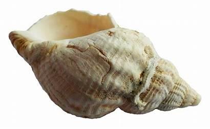 Shell Sea Transparent Ocean Seashell Pngpix Nature