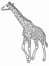 Coloring Pages Giraffe Realistic Jerapah Gambar Titan Posted sketch template