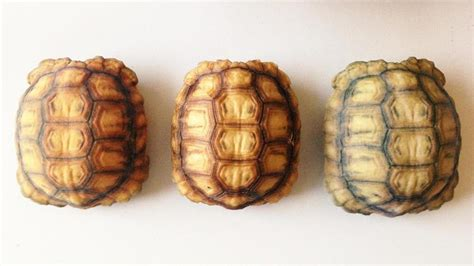 tortoise color educating hungry ravens with 3d printed tortoise shells