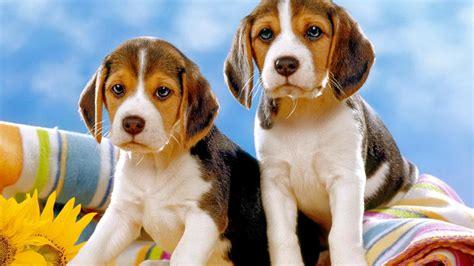 beagle screen wallpaper wallpapersafari