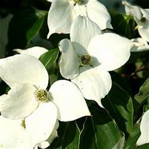 Cornus Kousa Schmetterling : alle planten van kwekerij bastin met een c ~ Michelbontemps.com Haus und Dekorationen