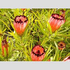Proteus, Australian Native Plant  Gardening Pinterest