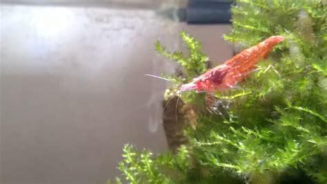 aquarium crevette cherry crevettes cherry m 226 le ou femelle comment les diff 233 rencier