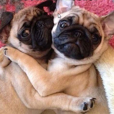 pugs  love  hug