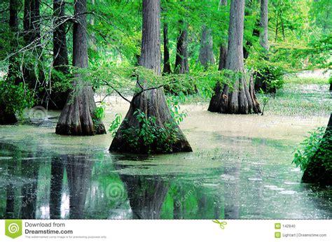louisiana bayou cypress stock photo image  louisiana
