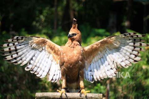 Apakah Burung Garuda Asli sama dengan Elang Jawa ...