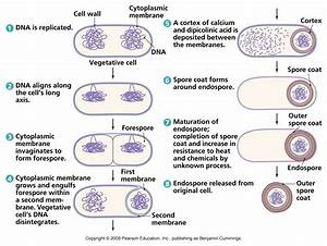 Biology Pictures  Endospore Formation