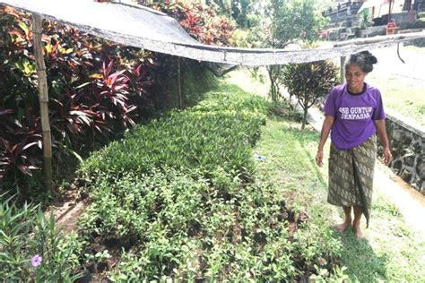 petiga desa tanaman hias tabanan mongabaycoid