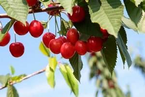 Schädlinge Am Kirschbaum : vogel kirsche n hrwerte inhaltsstoffe allergien ~ Lizthompson.info Haus und Dekorationen