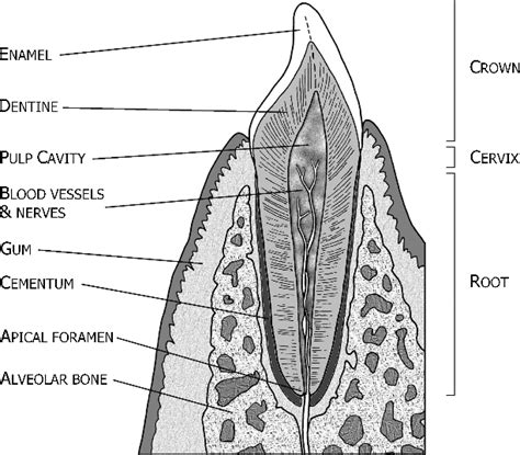 Tooth Bone Diagram by Simplified Cross Section Of A Tooth Incisor And Jaw