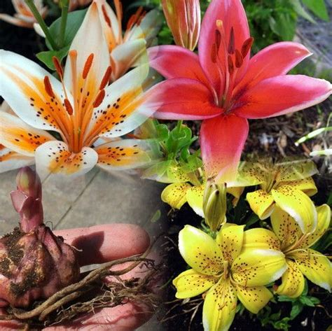 18 Best Images About Asiatic Lily Bulbs On Pinterest