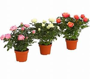 Rosen Im Topf Pflege : zwerg rose topf rose china rose busch gro bl tig ~ Lizthompson.info Haus und Dekorationen