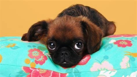 small dogs that don t shed small breeds that don t shed litle pups