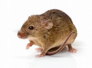 Comment Se Débarrasser Des Souris Dans Une Maison : souris dans appartement souris dans appartement une a vol dans les signes prdisent luavenir ~ Nature-et-papiers.com Idées de Décoration