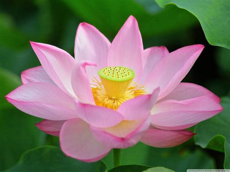 download pink lotus wallpaper gallery