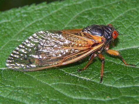 cicadas every 17 years