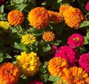 zinnia il fiore ornamentale che piace alle farfalle
