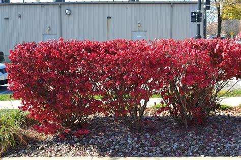 burning bush plant dwarf burning bush is a great deciduous shrub for fall color