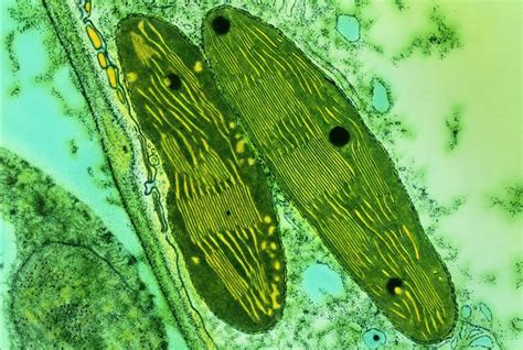 what color are chloroplasts photosynthetic organisms plants algae cyanobacteria