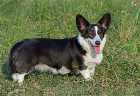 Welsh Corgi Cardigan Dog Breed Information, Buying Advice, Photos And Facts