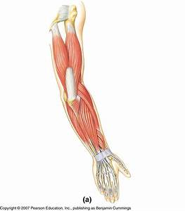 8 Best Images Of Arm Muscles Diagram Blank