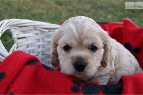 meet carmen  cute cocker spaniel puppy  sale