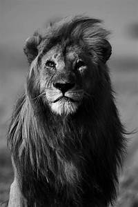 Black and White African Lions | photography Black and ...