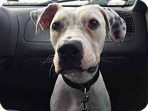 Tampa, FL - Dalmatian/American Bulldog Mix. Meet Crayola a ...