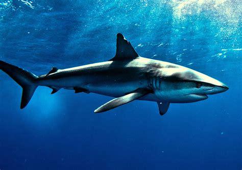 Shark Image Shark Wallpapers Animal Hq Shark Pictures 4k Wallpapers