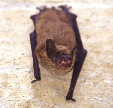 myotis bat mnwildanimalmanagement s blog