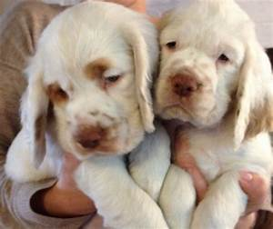 Clumber Spaniel puppies | Ramsgate, Kent | Pets4Homes