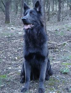 Ever hear of a Blue German Shepherd? (black, cross ...