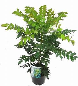 Kübelpflanzen Winterhart Schattig : mahonia media 39 winter sun 39 immergr ne mahonie pflanzen ~ Michelbontemps.com Haus und Dekorationen