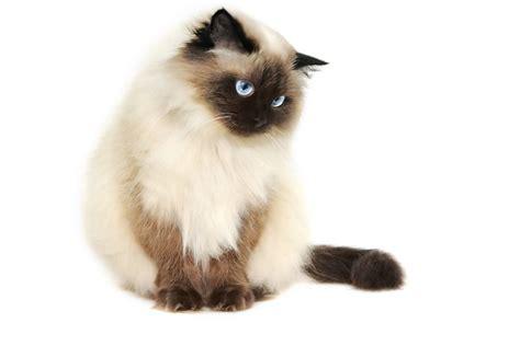 himalayan cat for cats iamjanyan