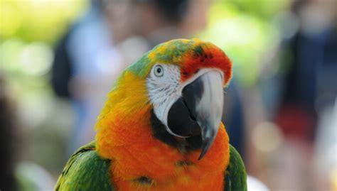 Ko darīt, ja papagailim ir pārāk garš knābis? - DELFI