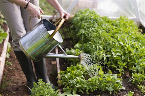 how to water plants in the summer wagners greenhouses
