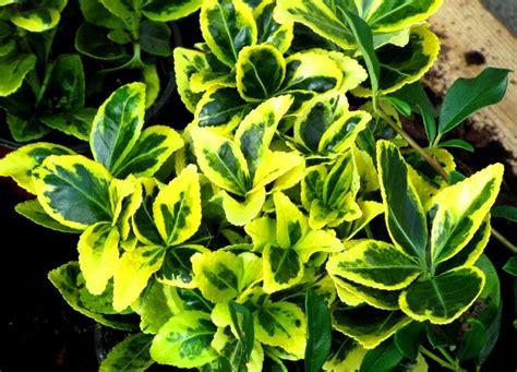 Immergrüne Sträucher Für Kübel by Euonymus Japonicus Japanspindel Pflanzen Versand Kaufen
