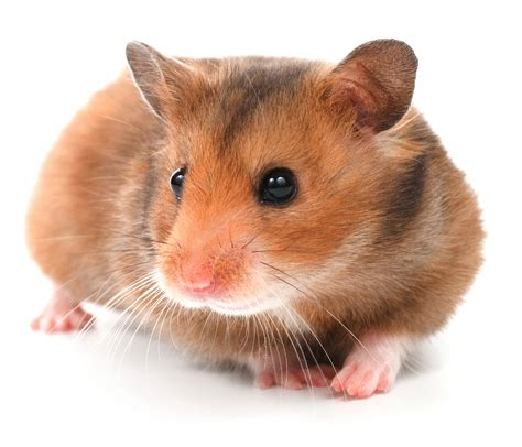 Hamsters with White Backround