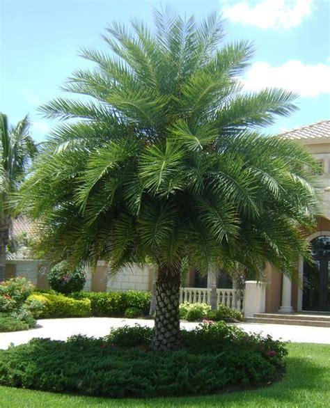 Silver Date Palm, Phoenix Sylvestris, Live Plant Tree ...