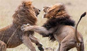 INCREDIBLE PICTURES: Vicious battle between two lions ...