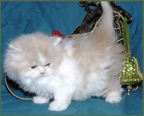 napoleon minuet cat cat breed selector