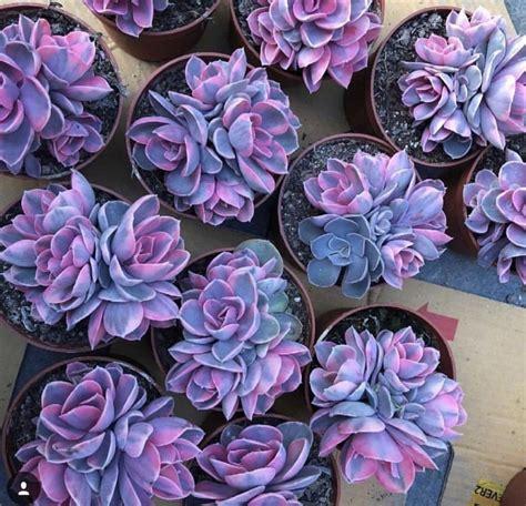 Rare Purple Succulents 100 Seeds Elitehomeimage