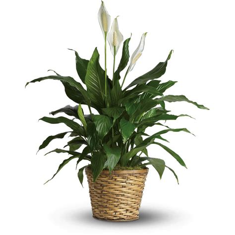 green house plants easy to grow foliage house plants