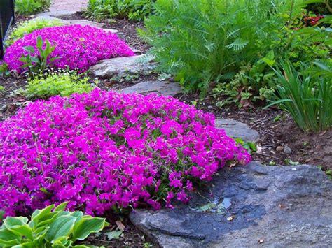 images  flowers creeping phlox  pinterest